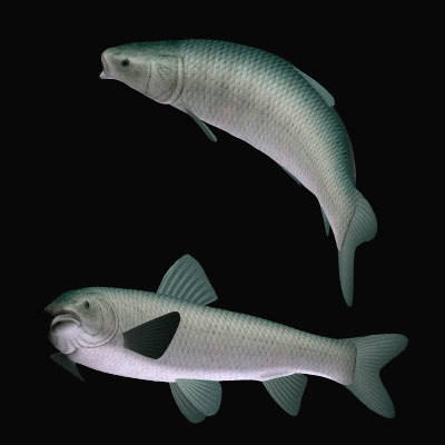 black carp aouo 3d model