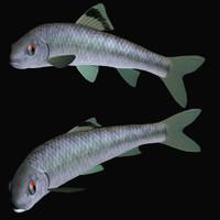 3d model sarcocheilichthys biwahigai