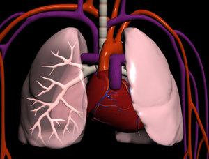 lungs heart 3d model