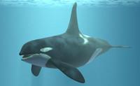 orca animal 3d model