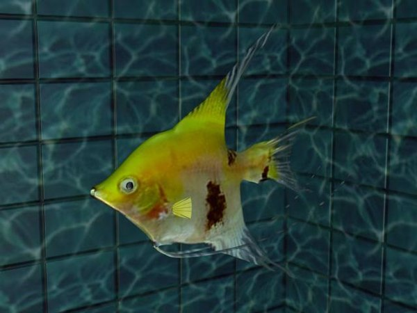 3d angel-fish aquarium model