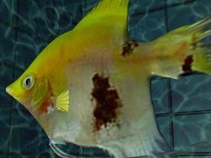 3d angel-fish aquarium model