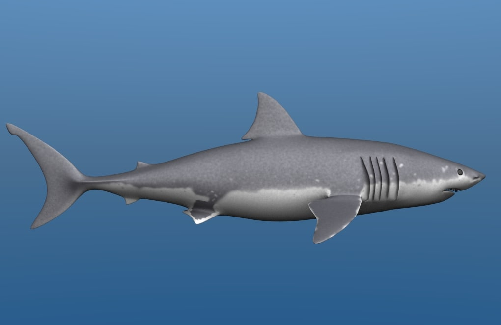 3d great white shark jaws model