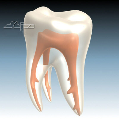 tooth nerve 3d model