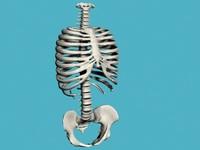 torso bones 3d model