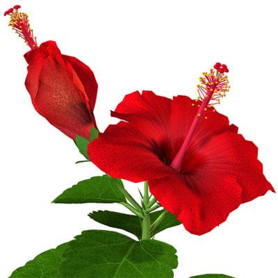 flower hibiscus 3d model