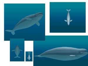 max beluga whale