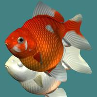 Ping-pong pearl (goldfish)
