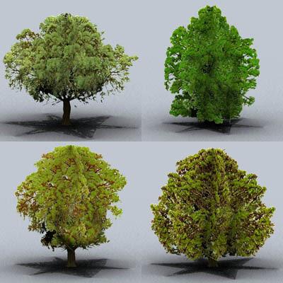 maya oak trees