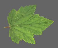 3d model currants leaf