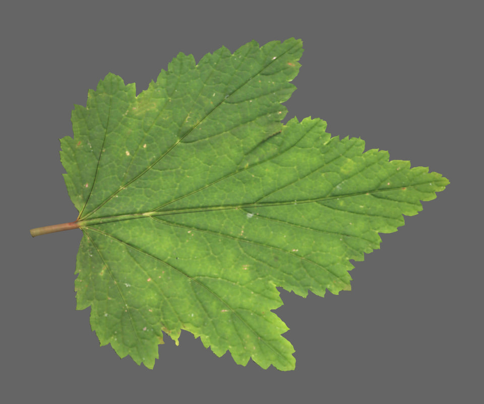 3d model currants leaf