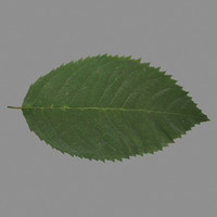 rose leaf 3d lwo