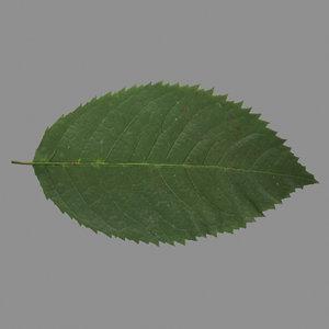 rose leaf 3d lwo