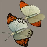 3d great orange tip