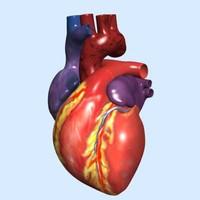 Human Heart exterior (Max)