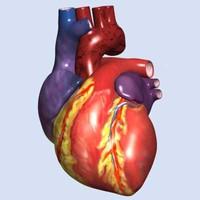 Human Heart w/interior (Max)