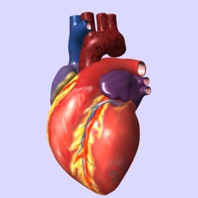 human heart interior 3d model