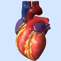 human heart exterior ma