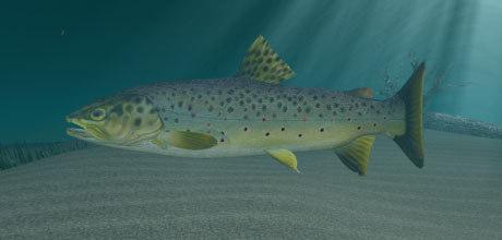 3d model brown trout