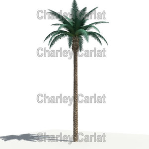 max date palm