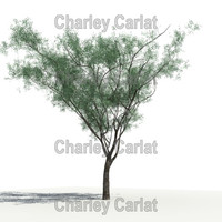 native mesquite 3d model