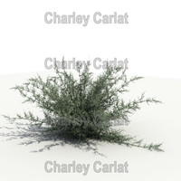Plant_Chihuahuan Rain Sage