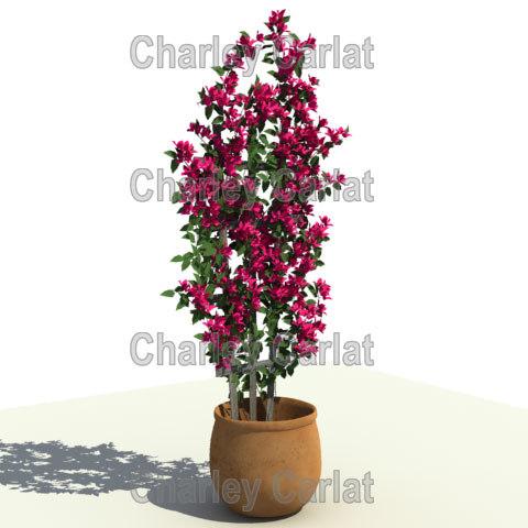 plant bougainvillea 3d model
