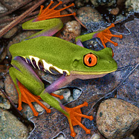 Red Eyed Tree Frog 01