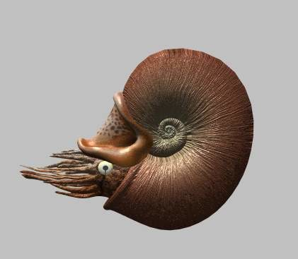 free ammonite 3d model