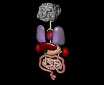 organs lungs 3d model