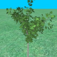 3d model small maple tree