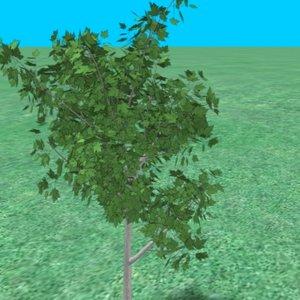 3d model small maple tree