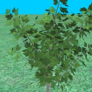 small maple tree 3d model