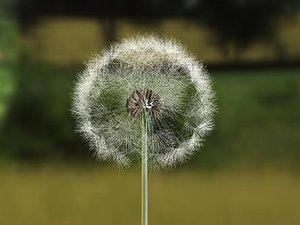 dandelion seed 3d model