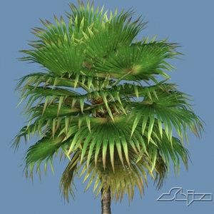 3d hi loulu fan palm model