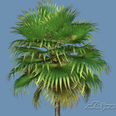 3d hi loulu fan palm model