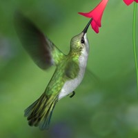 realistic humming bird hummingbird 3d model