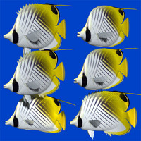 3d model threadfin butterflyfish