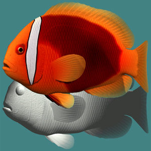 3ds tomato clownfish female