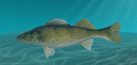 walleye fish 3d model
