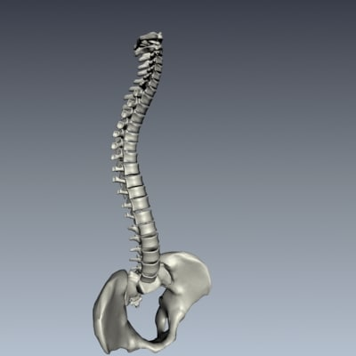 spine human anatomy articulated 3d model