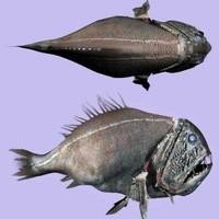 Abyssal Fish - Anoplogaster cornuta