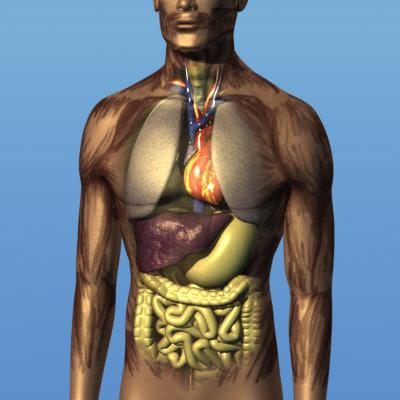 human body organs 3d model