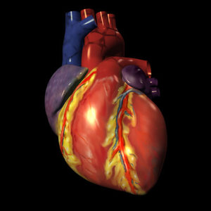 human heart exterior 3d model