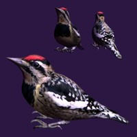 3d model yellow bellied sapsucker