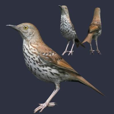 3d model brown thrasher