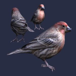 house finch max
