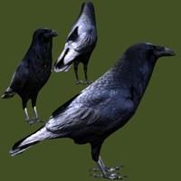 common raven 3d x