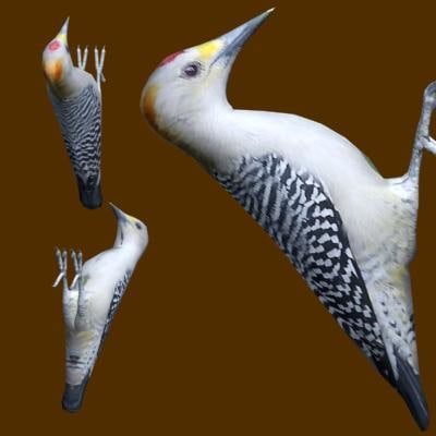 3d model golden-fronted woodpecker