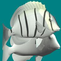 3ds max convict surgeonfish
